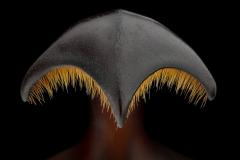 rhinoceros beetle [Golofa claviger] Peru-2