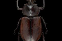 rhinoceros-beetle-Golofa-claviger-Peru-6