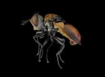 Ladybird-fly-Gymnosoma-rotundatum-UK