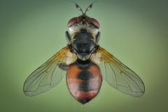 Ladybird-fly-Gymnosoma-rotundatum-UK-3