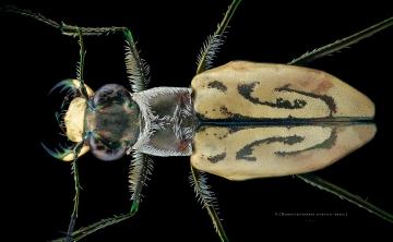 Habroscelimorpha dorsalis media - North Florida-2