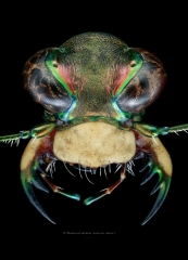 Habroscelimorpha dorsalis media - North Florida-3