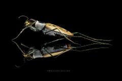 Habroscelimorpha dorsalis media - North Florida-4