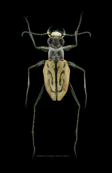 Habroscelimorpha dorsalis media - North Florida