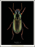 Harpalus-affinis-male-Schrank-1781-UK