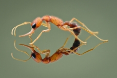 jumping ant [Harpegnathos saltator] India-5