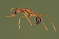 jumping ant [harpegnathos saltator] India_-3