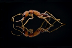 jumping ant [Harpegnathos saltator] India-4