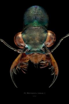 Heptodonta ferrari - Laos