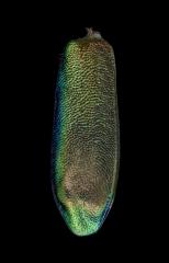 Heptodonta-melanopyga-California-4