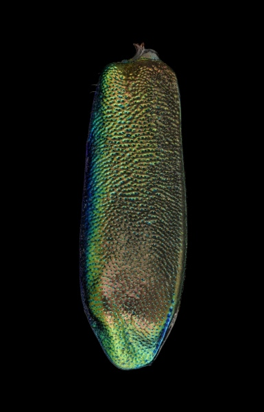Heptodonta-melanopyga 3
