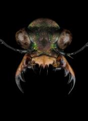 Heptodonta-melanopyga-California-5