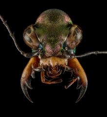 Heptodonta-melanopyga-California