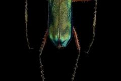 Heptodonta-melanopyga-California-3