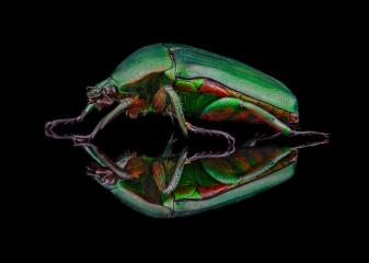 flower beetle [Heterorrhina micans] Thailand