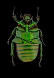 flower beetle [Heterorrhina micans ] Thailand-2