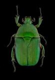 flower beetle [Heterorrhina micans ] Thailand