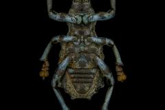Holonychus-saxosus-Madagascar-2