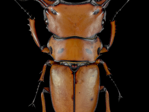 Homoderus-mellyi-Cameroon
