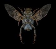 Welsh-Chafer-Hoplia-philanthus-UK-4