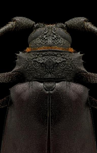 Hoplideres-aquilus-Madagascar-2