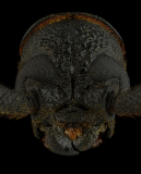 Hoplideres-aquilus-Madagascar-3