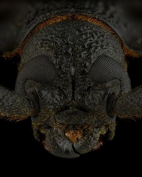 Hoplideres-aquilus-Madagascar-4