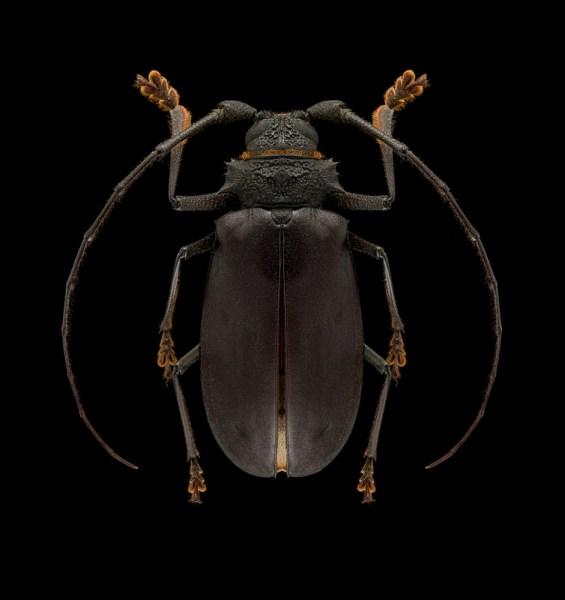 Hoplideres-aquilus-Madagascar