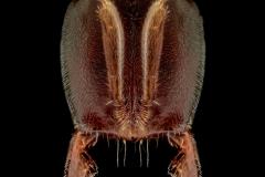 Hypoponera punctatissima - Botswana, Africa-12
