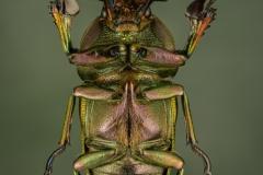1_Lamprima-adolphinae-West-Papua-2