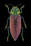 jewel beetle [Lampropela rothschildi] Madagascar