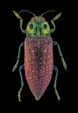 jewel beetle [Lampropela rothschildi] Madagascar