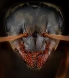 Lasius alienus UK1