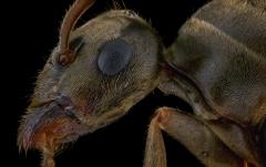 Lasius alienus UK3