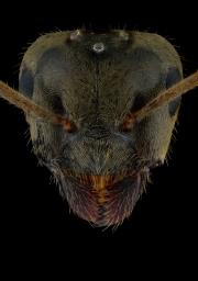 Lasius alienus UK4