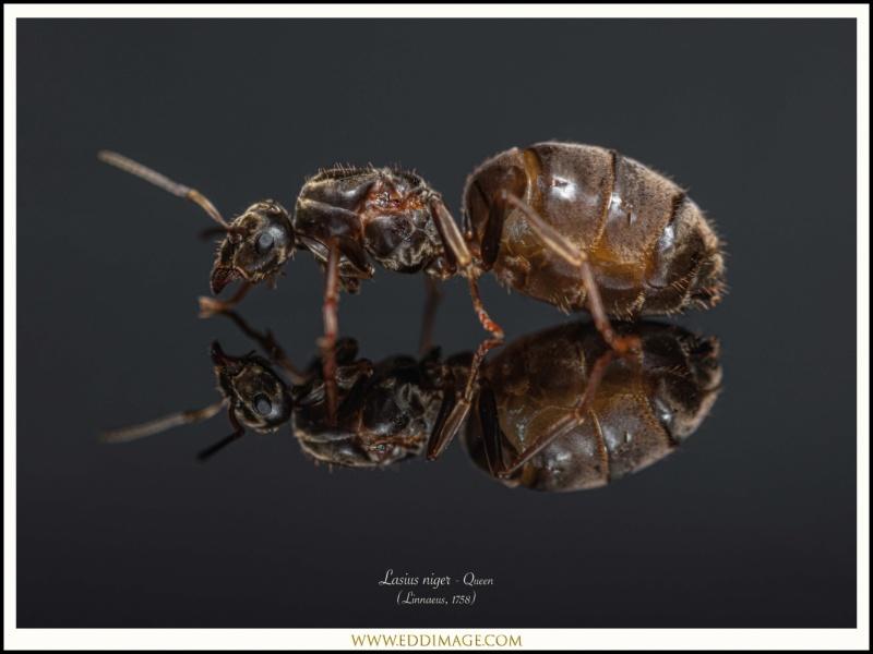 Lasius-niger-Linnaeus-1758-Queen