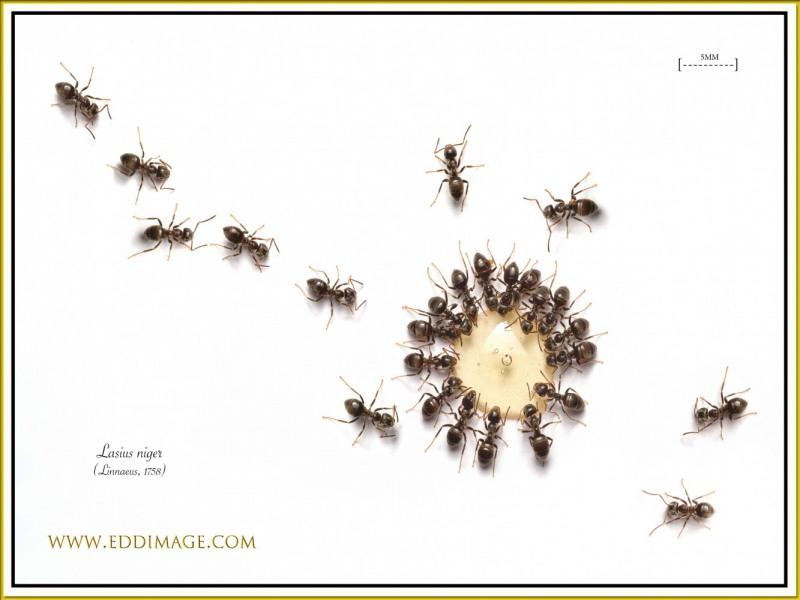 Lasius-niger-Linnaeus-1758