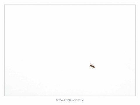 Lasius-niger-one-ant