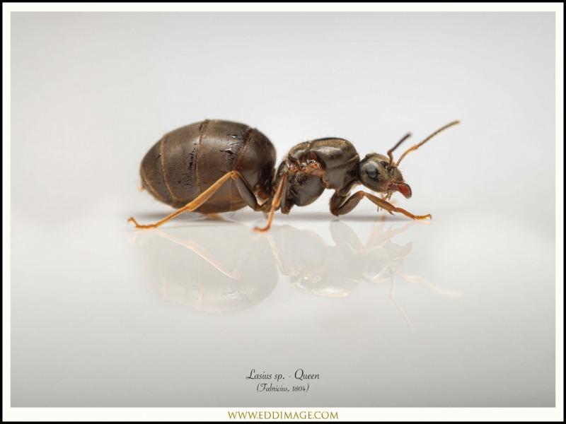 Lasius-sp.-Queen-Fabricius-1804-UK