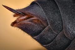 lesser banded hornet [Vespa affinis]