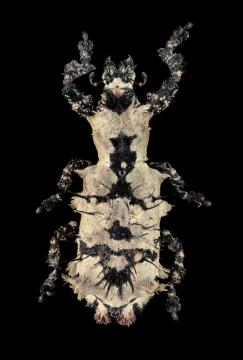 1_Lithinus-nigrocristatus-Madagascar-2