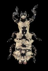 Lithinus-nigrocristatus-Madagascar-2