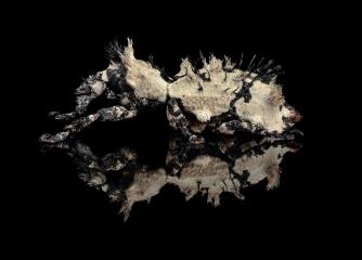 Lithinus-nigrocristatus-Madagascar