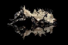 1_Lithinus-nigrocristatus-Madagascar