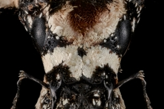 Lithinus-nigrocristatus-Madagascar-3