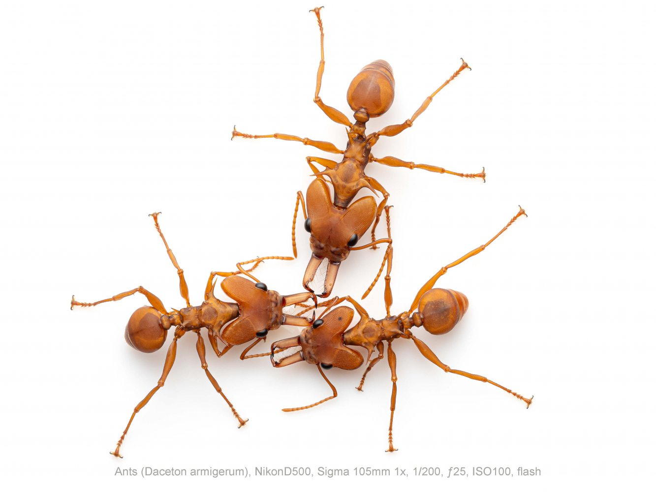 Ants-Daceton-armigerum