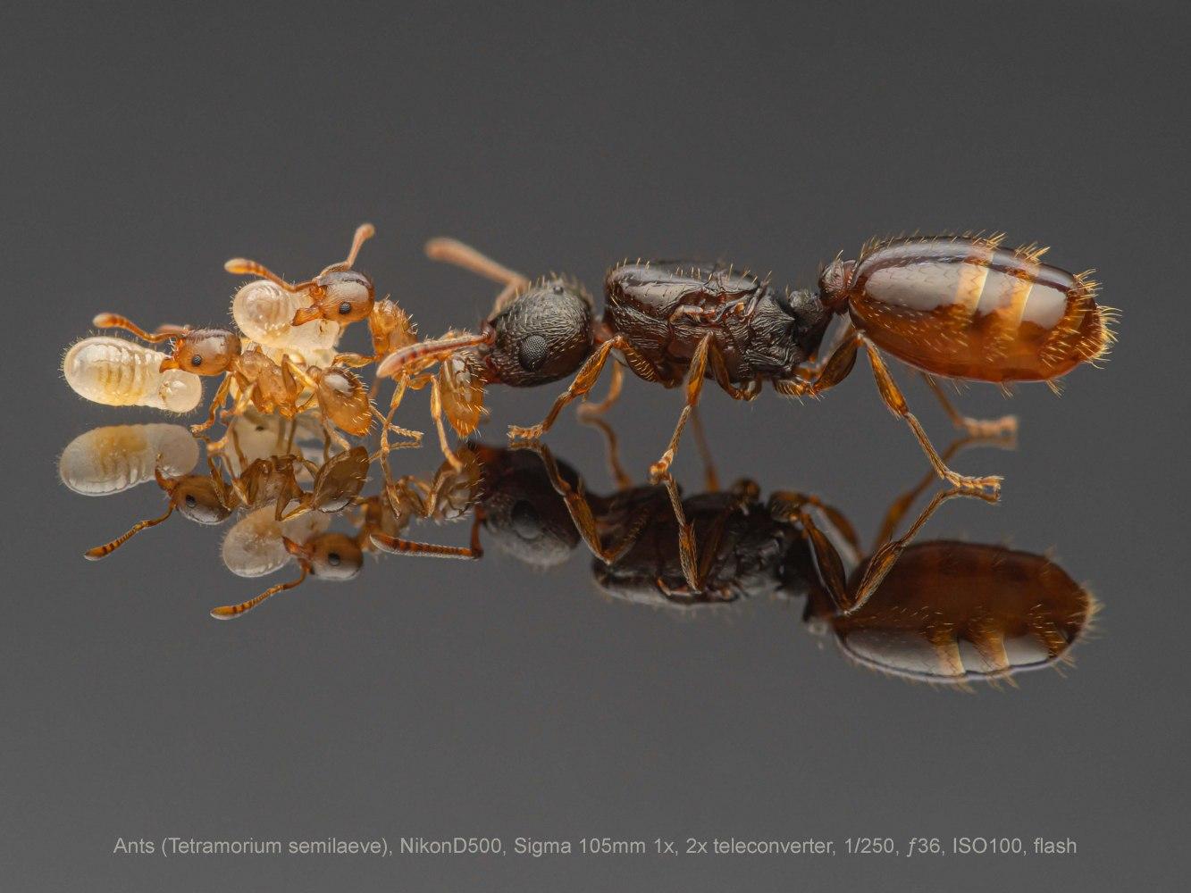 Ants-Tetramorium-semilaeve