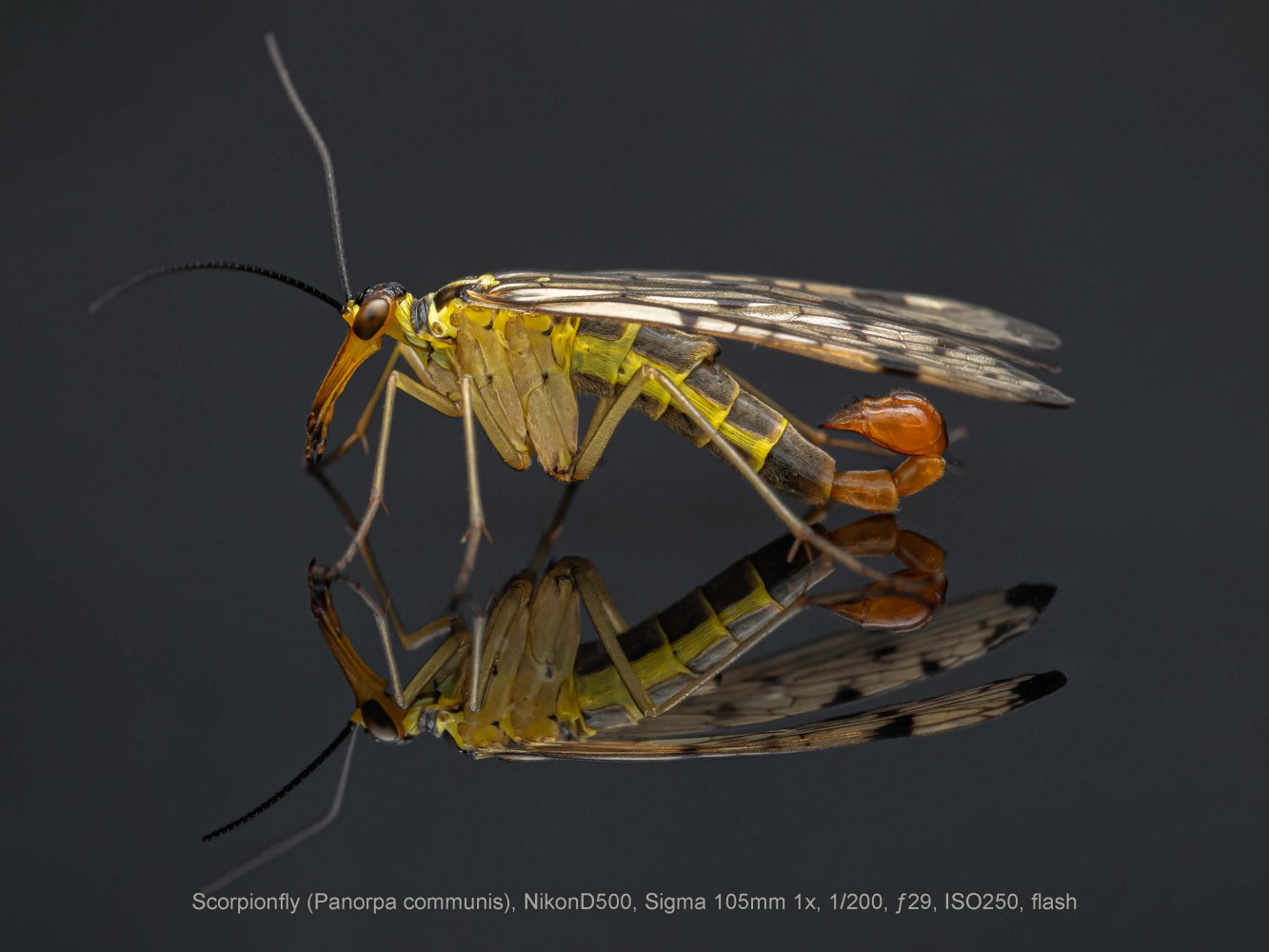 Scorpionfly-Panorpa-communis