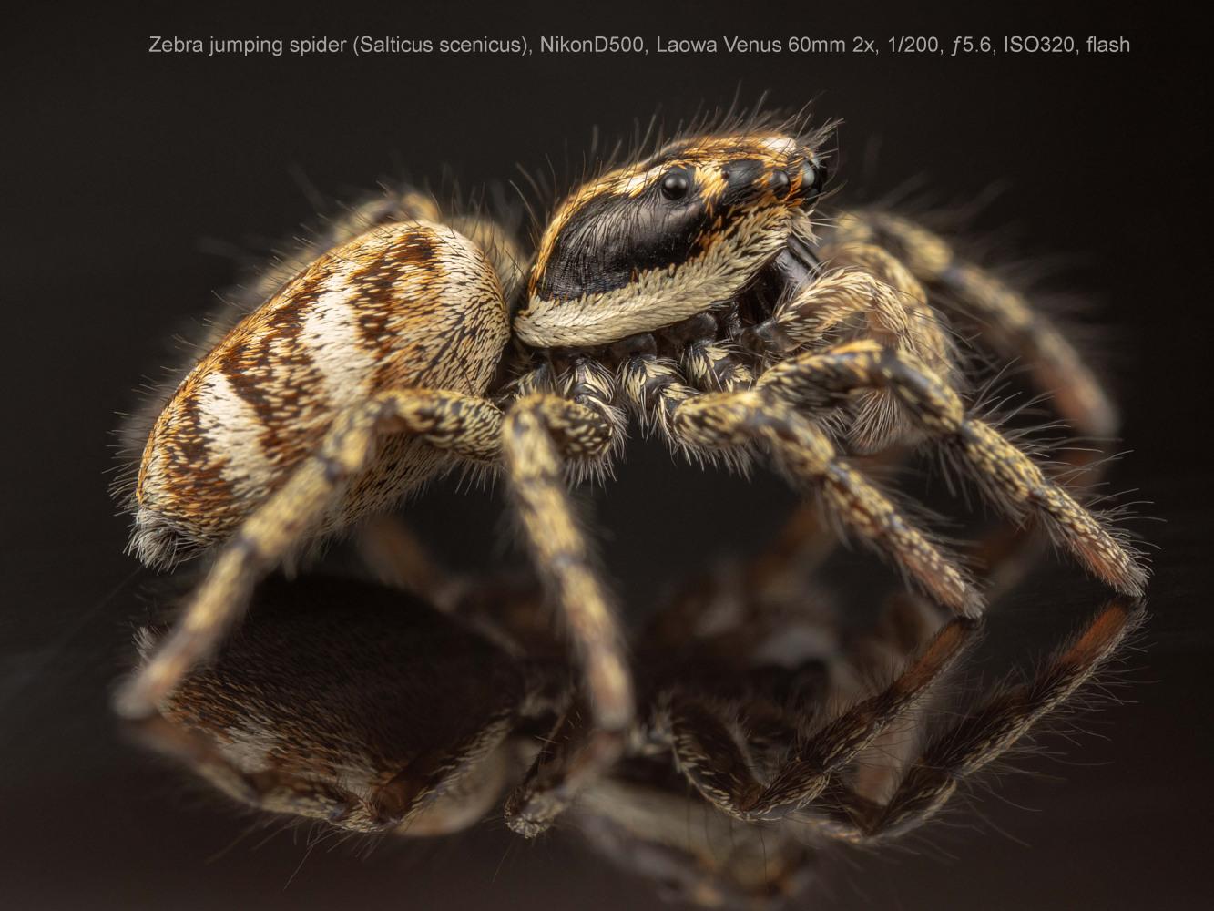 Zebra-jumping-spider-Salticus-scenicus
