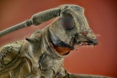 longhorn beetle-3